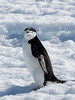 Chinstrap Penguin (Pygoscelis antarctica) by David Cook Wildlife Photography