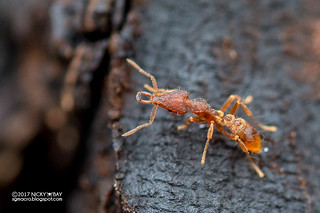Ant (Strumigenys cf. godeffroyi) - DSC_2902