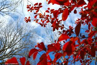 Hojas rojas miran al cielo | by NuriArT