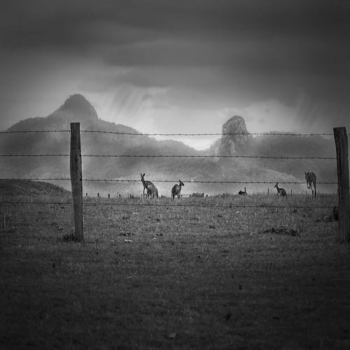blackandwhite bw landscape roos kangaroos ruralscene