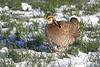 Greater Prairie Chicken At Rest On Lek by brad.schram