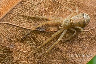 Crab Spider (Tmarus sp.) - DSC_8334