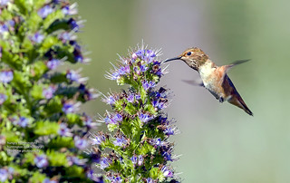 Hungry Hummingbird... | by Air Butchie Photography