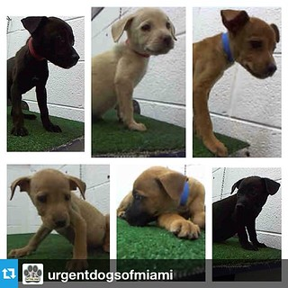 #Repost from @urgentdogsofmiami  ---  PLEASE SPAY & NEUTER YOUR PETS!!! Today was yet another day of puppy dumping at the shelter because irresponsible dog owners don't spay & neuter their dogs, and they end up with a litter of puppies that they can't han