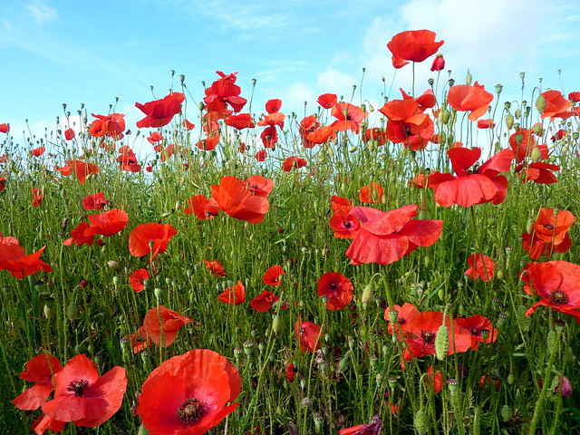 I see poppies, poppies, poppies...
