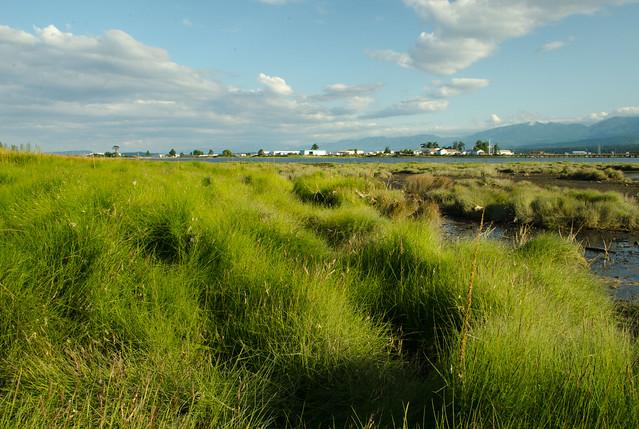 Filberg Marsh - Grass Blow