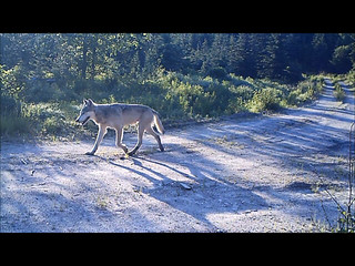 Male gray wolf   by USFWS Headquarters