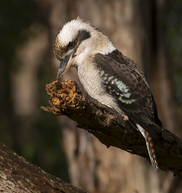 kookaburra WW  D500 200-500mm_DSC8674
