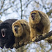 Black-and-gold Howler Monkey - Photo (c) Ouwesok, some rights reserved (CC BY-NC)