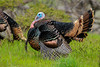 Wild Turkey (Meleagris gallopavo) (M) by Brown Acres Mark