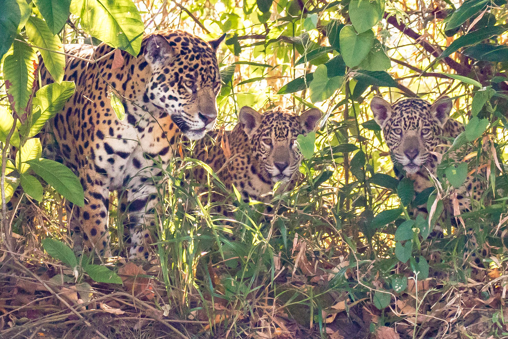 Jaguar family invites a photographer for lunch :)