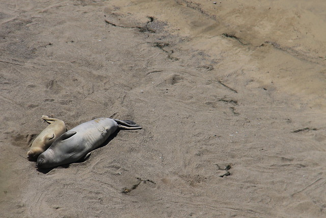 Elephant seal and pup, Point Reyes National Seashore