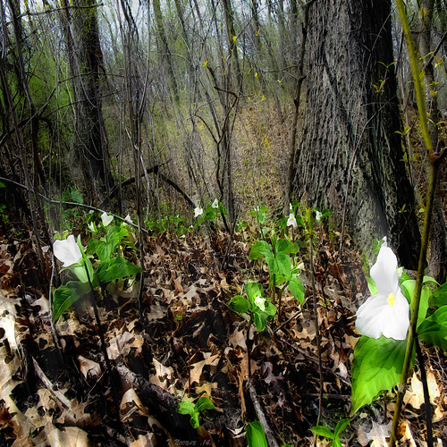 digital photoshop colour texture forest spring flowers trilliums ontario green white trees branches light awardtree