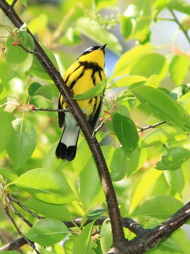 Magnolia Warbler 20140518
