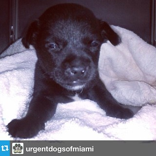 #Repost from @urgentdogsofmiami  ---  FOSTER NEEDED RIGHT AWAY. THIS BABY WAS JUST DUMPED AT THE SHELTER BY HIS OWNER AND NEEDS TO BE BOTTLE FED. THIS PUPPY WILL BE KILLED IF A FOSTER DOES NOT GO TO THE SHELTER NOW TO TAKE IT HOME. Please go get this baby