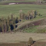 Bison herd on Lamar Valley