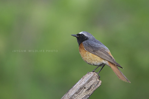 Rabiruivo-de-testa-branca/Common Redstart (Phoenicurus phoenicurus) | by jaygum_photo