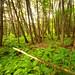 Cedar Swamp Forest