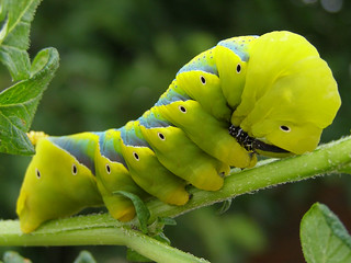 Large Caterpillar | by Abysim