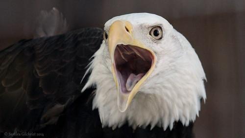 eagle baldeagle sandor niwra northislandwildliferecoveryassociation sandragilchrist