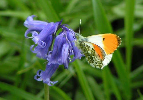 English Woodland, Orange Tip Butterfly and Bluebell