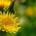 Yellow beauty by kamal_aljahed