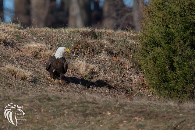 Bald Eagles of Swimming River | 2017 - 6