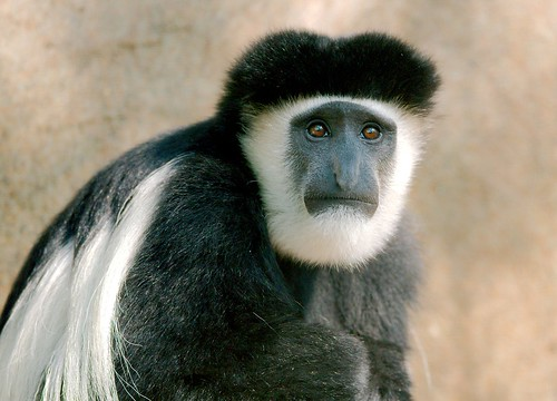Colobus | by guppiecat