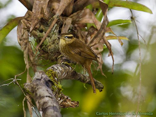 White-browed Foliage-gleaner | by This Way - Birding Services