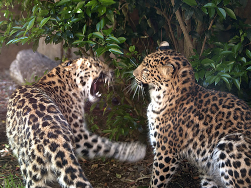 Greenville Zoo 05-24-2011 - Amur Leopard 2 | by David441491