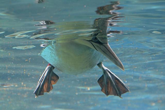 Basstölpel im Zoo am Meer