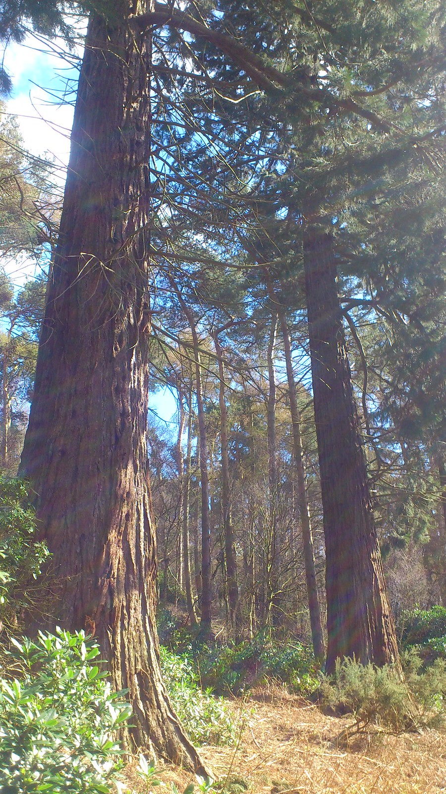 Bow Brickhill to Woburn Sands Redwoods