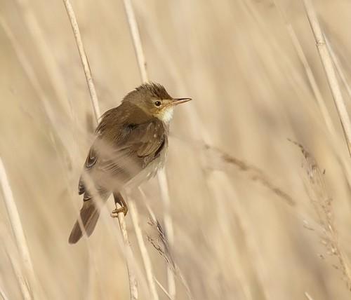Kärrsångare / Marsh Warbler | by Stefan Berndtsson