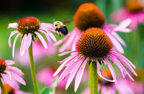 flight of the bumblebee | by wnkremer1