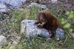 Khaleesi, the Baby Orangutan