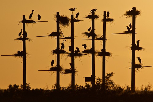 Great Blue Heron Rookery | by goingslo