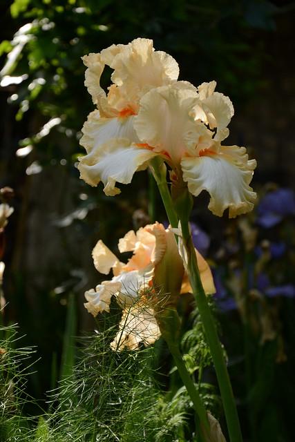Iris 'Marie Flore' - Cayeux 1990 32161612935_a03f7de8c5_z