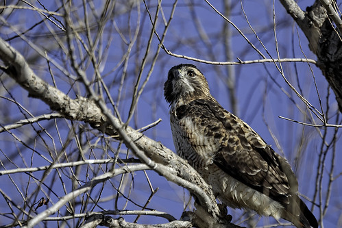 Hawk in Tree #53 | by lennycarl08