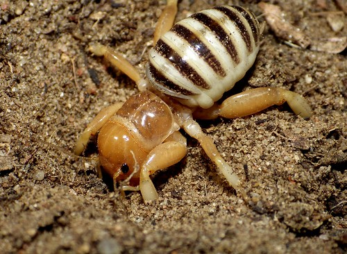 Jerusalem cricket | by entogirl