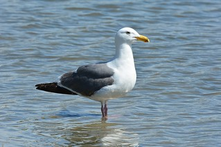 Western Gull (Larus occidentalis) | by R-Gasman