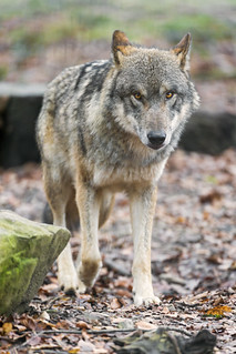 Walking wolf... | by Tambako the Jaguar
