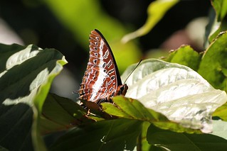 White-barred Charaxes | by mgrimm82