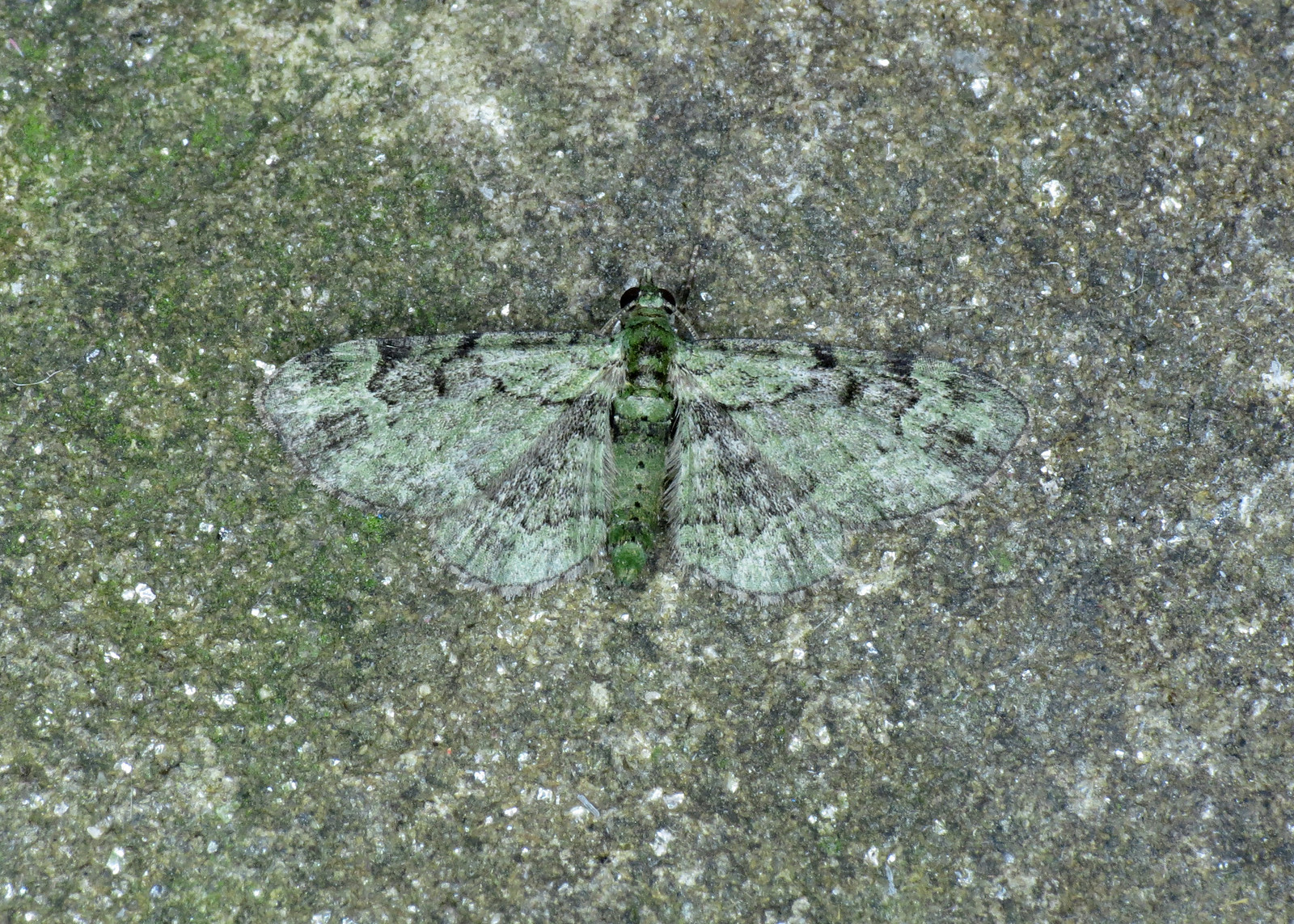 1860 Green Pug - Pasiphila rectangulata