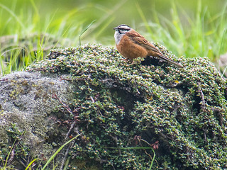 Rock Bunting | by Mike Prince