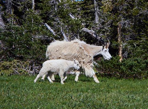 White Mountain Goats on Hurricane Ridge, Washington
