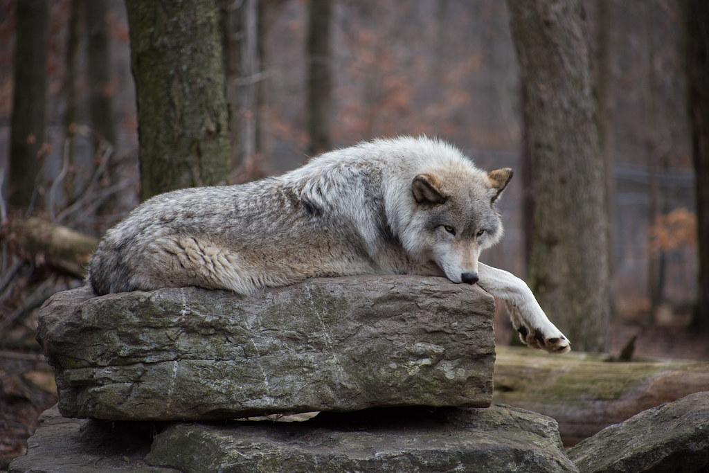 Lakota Wolf Preserve-2960