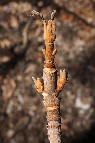 Hydrangea quercifolia 'Snow Queen' (Snow Queen Oakleaf Hydrangea) | by Plant Image Library