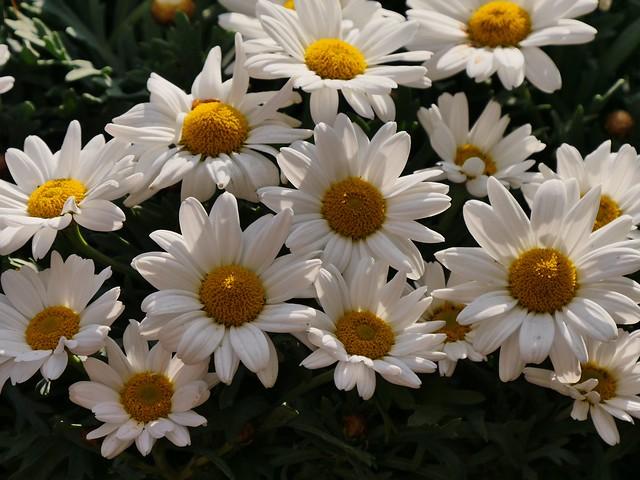 Früüüühling - Spring - Margeriten