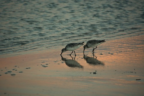 sunset birds feeding florida shore daytonabeach daytona willet tringasemipalmata mikemccallphotography ©2014mikemccall