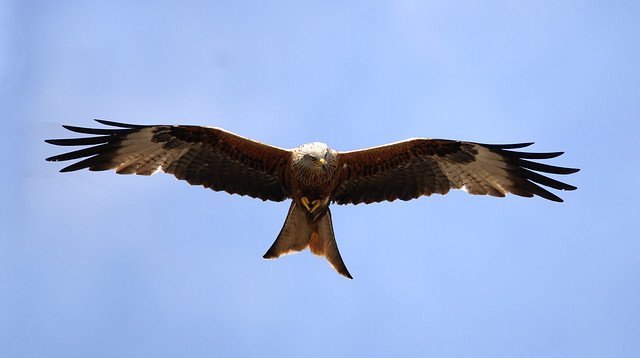 Red Kite 'Milvus milvus'